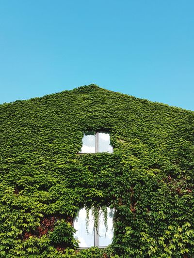Perspective Blue Sky Windows Overgrown Reflection Summer Colors Tree Agriculture Rural Scene Lush - Description Sky Green Color Plant Ivy Creeper Plant Growing Creeper