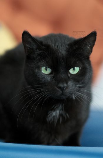 Domestic Cat Pets Portrait Domestic Animals Animal Themes One Animal Looking At Camera Indoors  No People Yellow Eyes Black Color Close-up Cat Photography Katzenfotografie Katze Hauskatze Colorful Farbig