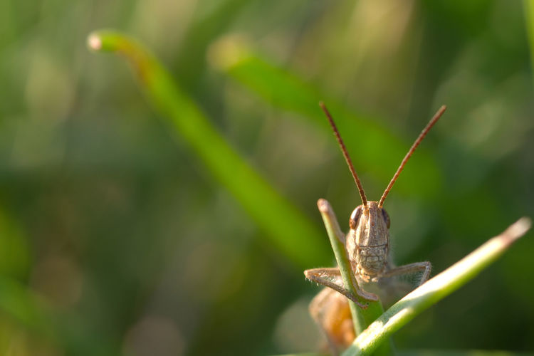 Animal Antenna Animal Themes Beauty In Nature Close-up Day Focus On Foreground Grass Grasshopper Green Color Insect Lucust Nature No People Outdoors Plant Selective Focus Wildlife