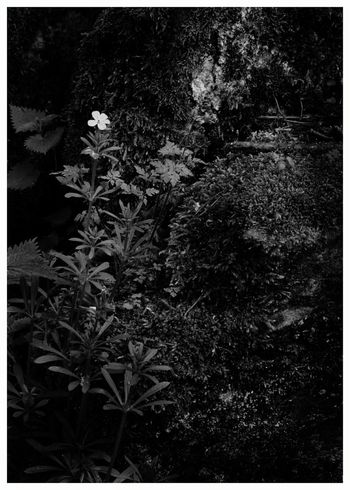 Nature No People Close-up Outdoors Day Black And White Forgetmenots Flowers Moss Sandstone Loch of Kinordy Nature Walks Kirriemuir Countryside Vegetation