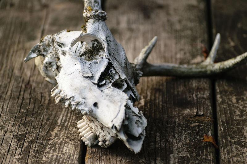 Deer Animal Bone Animal Skull Animal Themes Antler Bone  Close-up Day Nature No People Outdoors Skeleton Wood - Material