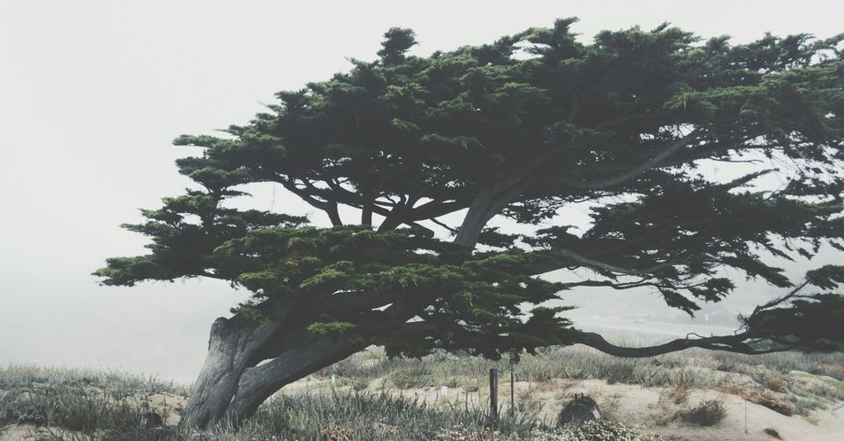 blown Tree Beach Wind Photography Nature Wall Worthy California Composition