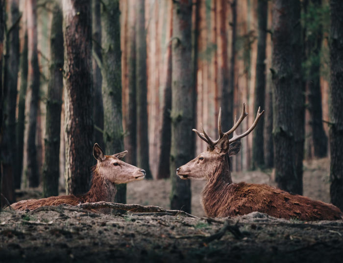 Deer in front of each other at forest