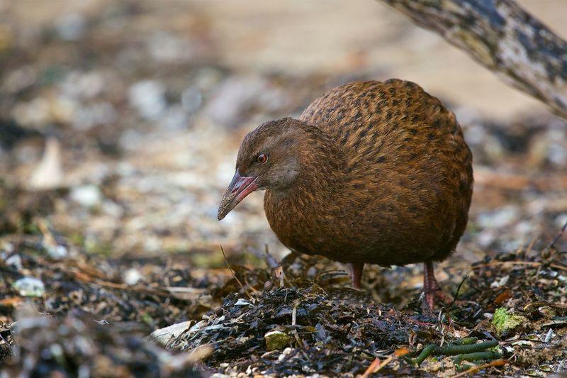 NZ Birds Animal Wildlife Bird Nature Weka
