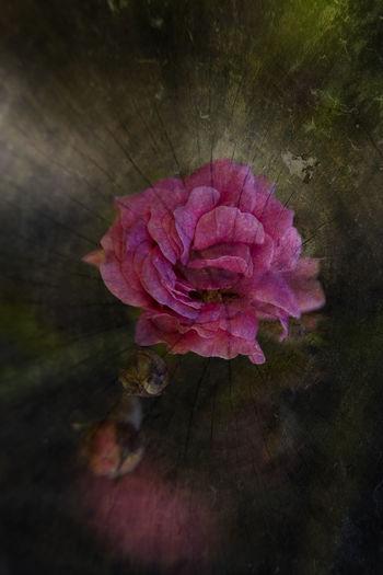 Rosa #rosa #petals #EyeEmNewHere Flower Head Flower Pink Color Petal Close-up Plant