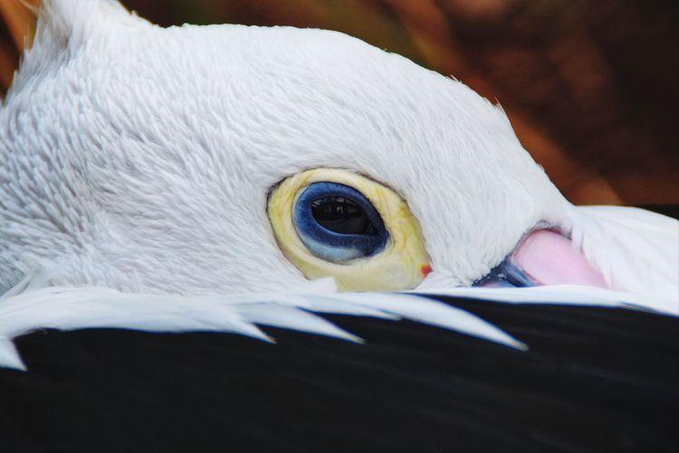 A Pelican eye