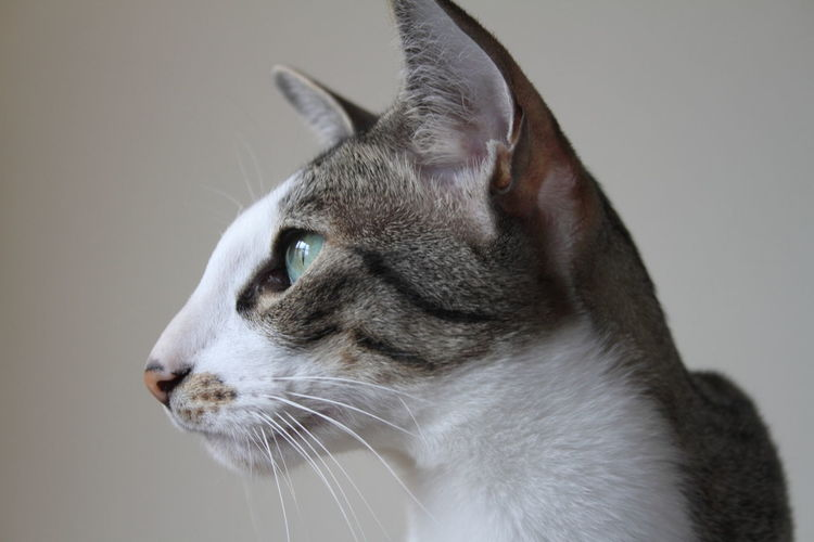 Animal Themes Close-up Day Domestic Animals Domestic Cat Feline Focus On Foreground Gray Background Indoors  Mammal No People One Animal Pets Peterbald Sócrates Studio Shot Whisker White Background Pet Portraits
