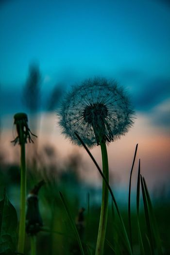 Pusteblume, Dandelion Sunset_captures Flower Photography Sunsetlover Nature Nature_collection Nature Photography Naturelovers Nature_perfection Naturephotography Flower Flower Head Flowers Flower Collection Dandelion Dandelion Seed Sunset_collection Sunset Silhouettes Sky And Clouds Cloud Cloud - Sky Clouds And Sky Clouds Sunset #sun #clouds #skylovers #sky #nature #beautifulinnature #naturalbeauty #photography #landscape EyeEm Selects Sunset Sky Blooming Flower Head Single Flower