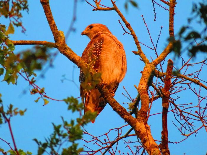 Wild hawk Hawks Hawks Of Eyeem Tree Branch Tail Animal Themes Close-up Sky Bird Of Prey Hawk - Bird Hawk