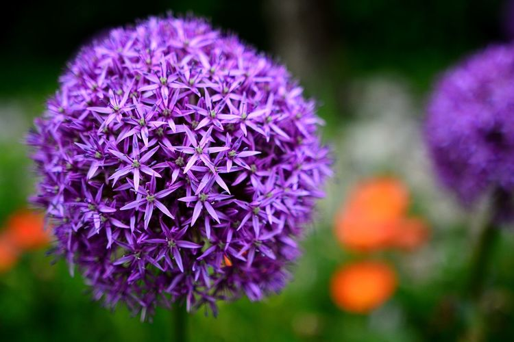 Focus On Foreground Focus Outdoors Outdoor Photography Outdoor Nahaufnahme Nature Nature_collection Nature Photography Naturelovers Flower Head Flower Water Springtime Petal Purple Zinnia  Thistle Close-up Plant Botanical Garden Botany Flowering Plant Purple Color Plant Life EyeEmNewHere