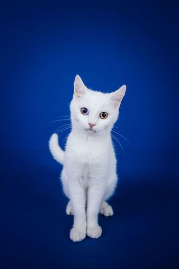 Portrait of a cat against blue background