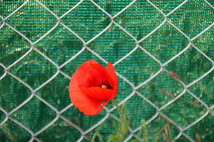 Close-Up Of Red Flower On Chainlink Fence