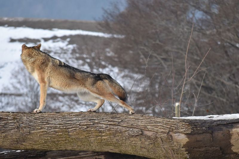 Wolf stretches