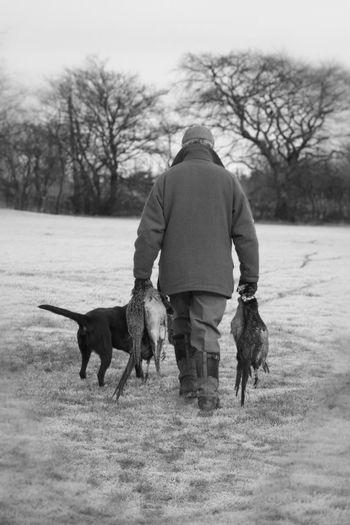 Working Labrador Gundog helping to carry the Pheasants.