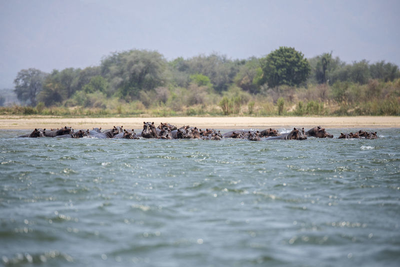 View of hippos in water