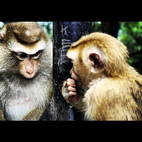 Monkey Monkeys Bornfromanegginamountaintop Funkiestmonkey monkeys animalsofinstagram thailand love beauty