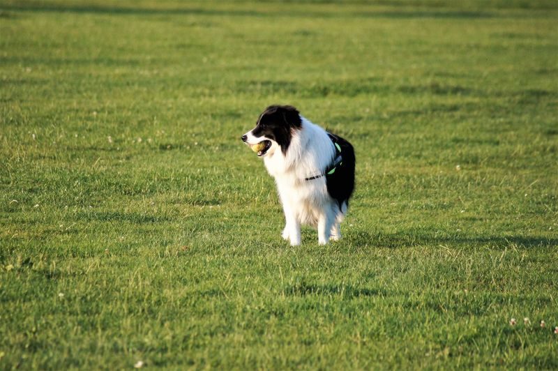 Dog standing on field with ball in mouth. Plant Grass Green Color Field Animal Themes One Animal Animal Domestic Domestic Animals Pets Pet Owner Border Collie Black Color White Color Long Haired Dog Halter Tennis Ball Standing Animal Body Part Animal Head  Animal Markings Animal Mouth Mouth Open Holding Mammal Vertebrate Dog Canine Growth Sunlight Shadow Silhouette Animal Eye Animal Nose Looking Away Looking At Camera Alone Nature Beauty In Nature Scenics Nature Day Land Outdoors No People Surface Level Side View Selective Focus