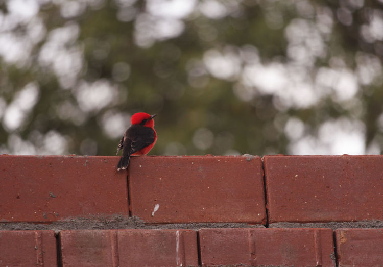 Bird Day Nature Singing One Animal Outdoors Red Singbird Singing TakeoverMusic