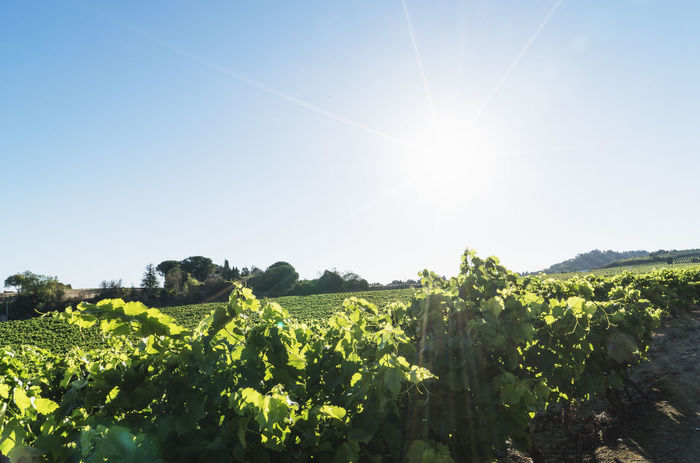 Agriculture Beauty In Nature Blue Clear Sky Crop  Day Field France Growth Landscape Leaf Low Angle View Nature No People Outdoors Plant Rural Scene Scenics Sky Summer Sun Sunlight Tree Vineyard Wine