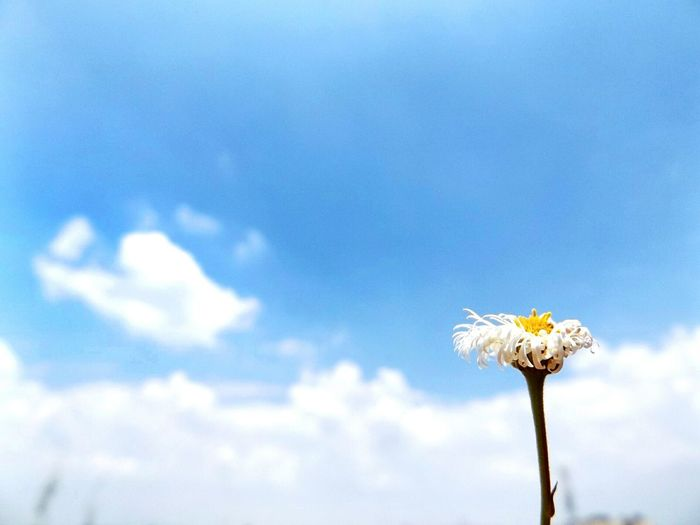 Low angle view of white flowers against clear sky