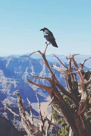 Raven Bird Perching On Dead Tree Against Clear Sky