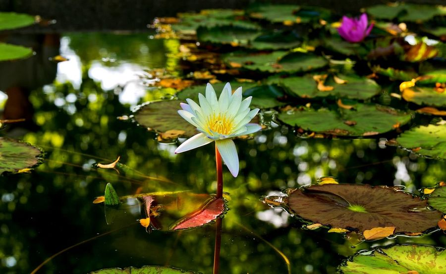 Flower Beauty In Nature Close-up Floating On Water Flower Flower Head Fragility Freshness Growth Leaf Lily Pad Lotus Lotus Water Lily Nature No People Petal Pond Water Water Lily