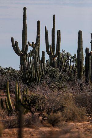 Sahuaros, Pitahaya, y otras especies de Cactus y matorrales espinos característicos del del desierto sonorense por la carretera a Bahia de Kino y San Nicolas en Sonora Mexico. 26 diciembre 2007 keywords: Pitaya, desert, luz de dia, paisaje, horizonte. Sahuaros, Pitahaya, and other species of Cactus and thorn bushes characteristic of the Sonoran desert along the road to Bahia de Kino and San Nicolas in Sonora Mexico. December 26, 2007 (Photo: Luis Gutierrez / NortePhoto.com) keywords: Pitaya, desert, daylight, landscape, horizon. Abnstract Cactus Desert Green Color Luis Gutierrez Mexico Norte Photo Plant Sahuaro Sonora Mexico Sonoran Desert Trees Blue Ky Cactus Collection Day Desert Beauty Desert Landscape Gren Plants Garden Land Nature No People Outdoors Pithaya Plant Surrealism