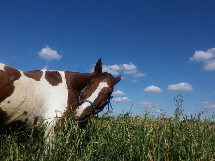 This horse and his attitude (; Horse Personality  Fieldscape Rurex California Agriculture Hay Field The Purist (no Edit, No Filter) Landscape Livestock Bluesky Clouds On Parade via Fotofall