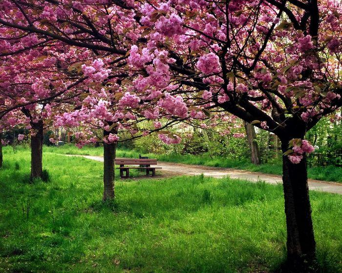 Berliner Mauer Spring Frühling Kirschblüten  Parkbank
