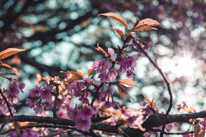 Cherry Blossom Sakura Beauty In Nature Flowering Plant Flower Pink Color No People