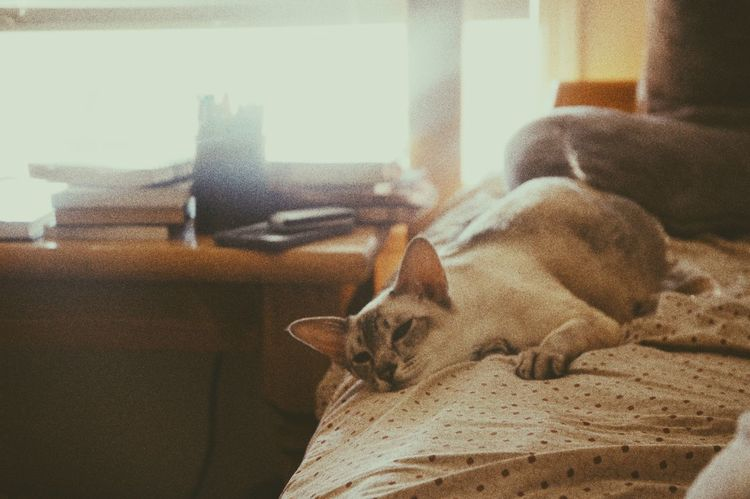 Domestic Animals Animal Themes Pets Cat♡ Cat Cats Cat Lovers Catoftheday Cats Of EyeEm One Animal Animal Vintage Resting Peaceful Siamese Cat Siamese Pampered Pets Relaxation I Love My Cat