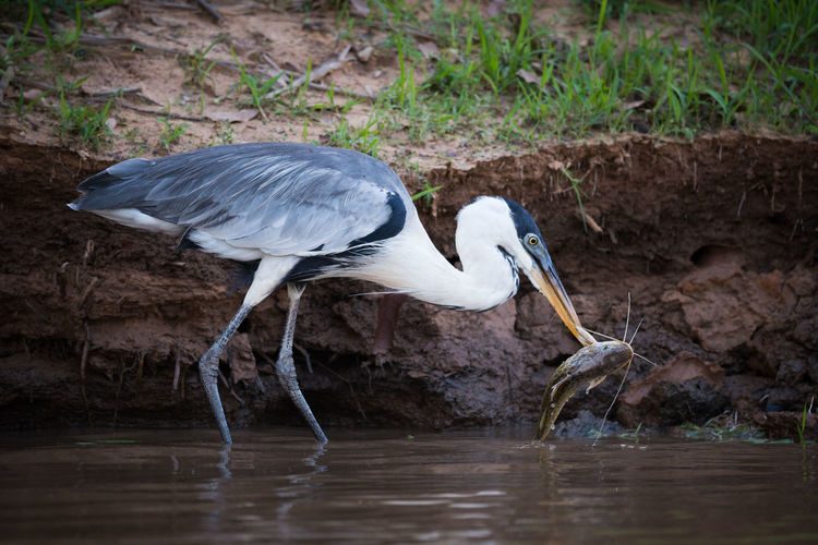 Gray heron catching fish in the water