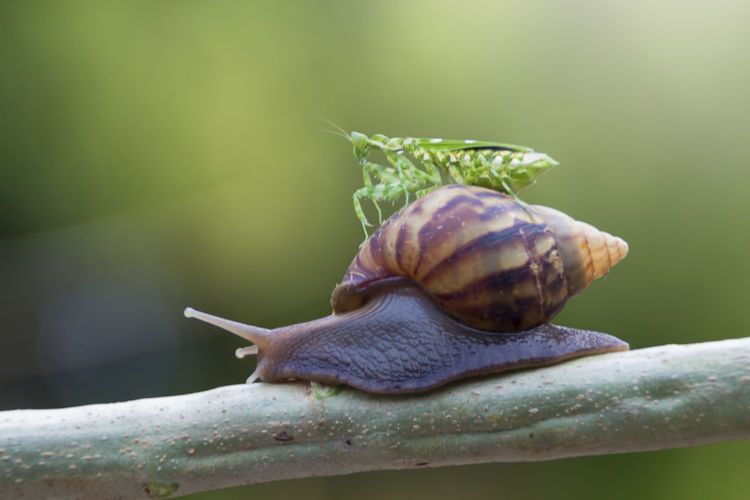 mantis and snail Mollusk Gastropod Animal Wildlife Snail Shell Animal Shell Invertebrate Animal Close-up Animals In The Wild Animal Themes One Animal Focus On Foreground Animal Antenna Boredom Nature Day Animal Body Part Plant Part No People Outdoors Crawling Small