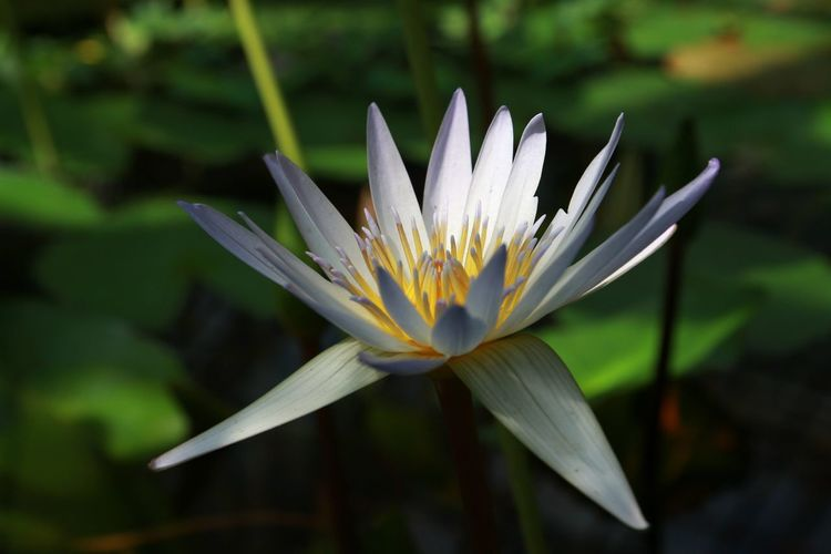 Close-Up Of Water Lily Blooming On Pond