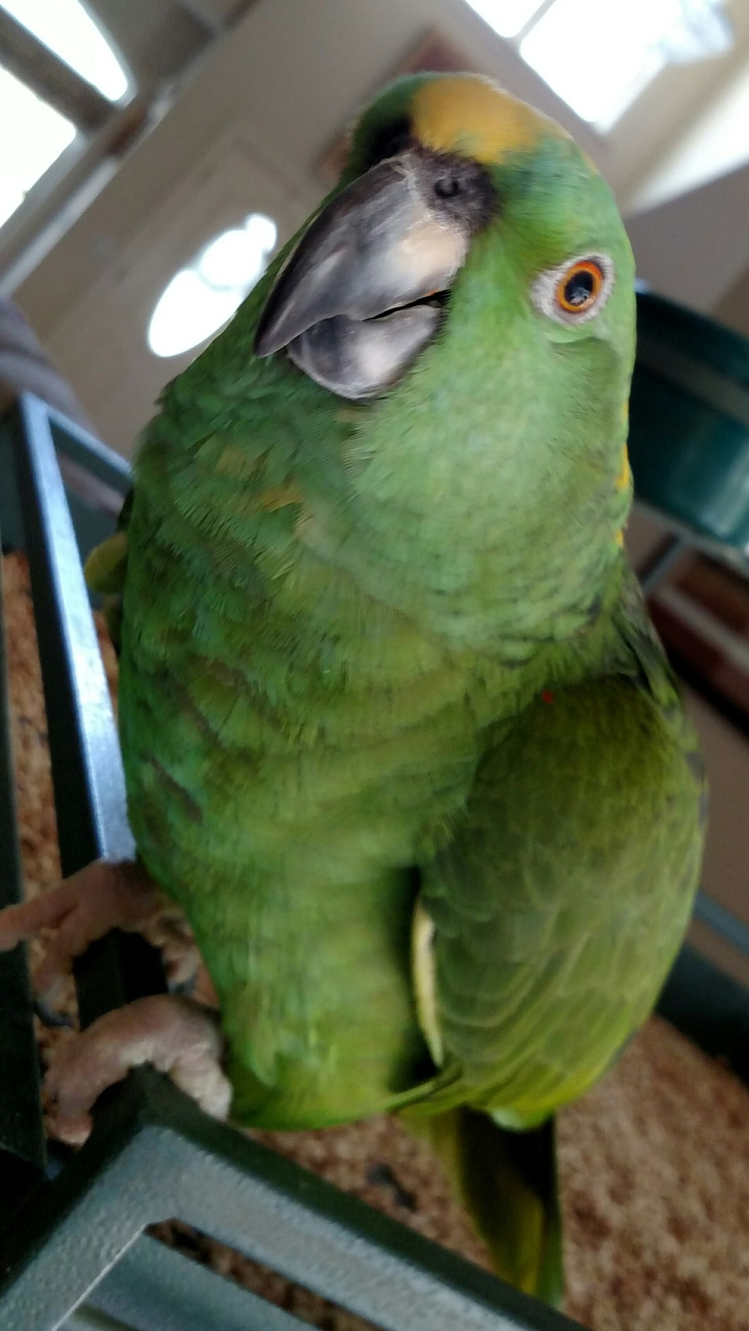 animal themes, one animal, indoors, bird, animals in the wild, close-up, pets, parrot, wildlife, animal head, domestic animals, focus on foreground, perching, cage, green color, no people, portrait, looking at camera, day, high angle view