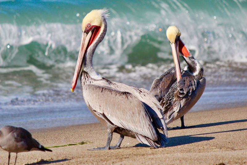 Pelicans perching at beach during sunny day