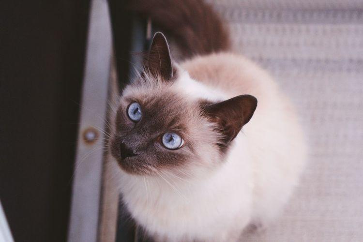 Cats Siamese Model