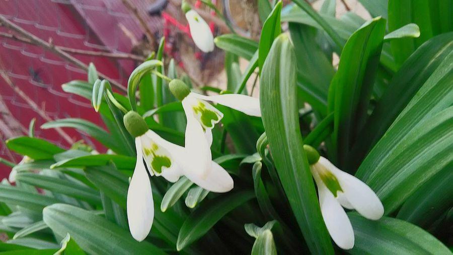 подснежники цветв белые цветы White Flower White Snowdrop EyeEm Selects Forest Tree Green Winter In The Crimea Cremea Flowers 100 Days Of Winter Plant Leaf Green Color Growth Nature Fragility Flower