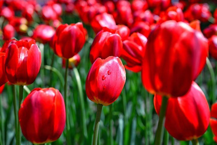 Pure red tulips Wildlife Nature Almaty Qazaqstan Kazakhstan Tulips Tulips Flowers Tulips In The Springtime Red Green Wildlife & Nature Flower Flower Head Red Poppy Close-up Plant Tulip Fragility In Bloom Cosmos Flower Blooming Growing Botany
