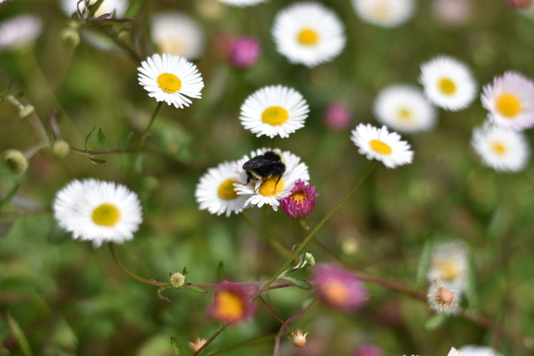 Close-up of insect pollinating on daisy
