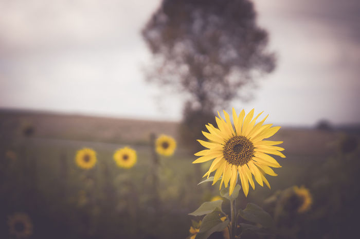 Sunflower field, in the sunlight enjoy the colors Beauty In Nature Blooming Close-up Cloud - Sky Colors Day Eye4photography  EyeEm Best Shots EyeEm Gallery EyeEm Nature Lover Flower Focus On Foreground Fragility Freshness Landscape Malephotographerofthemonth Melancholic Landscapes Nature No People Outdoors Plant Sky Sunflower Yellow Be. Ready.