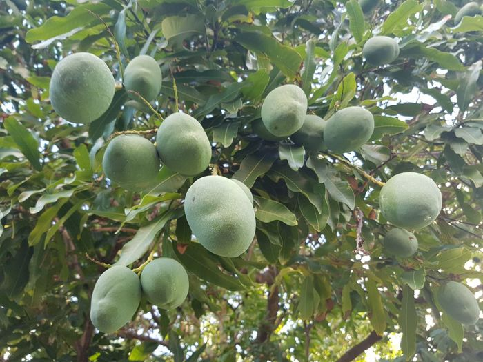 Fruit Tree Green Color Freshness Nature Outdoors Day No People Healthy Eating Beauty In Nature Low Angle View Branch Leaf Close-up Mangos Hanging From Tree