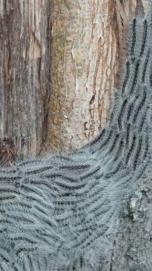 Tree Caterpillar Tree With Catepillars Catepillars On The Tree Oak Processionary Catepillar