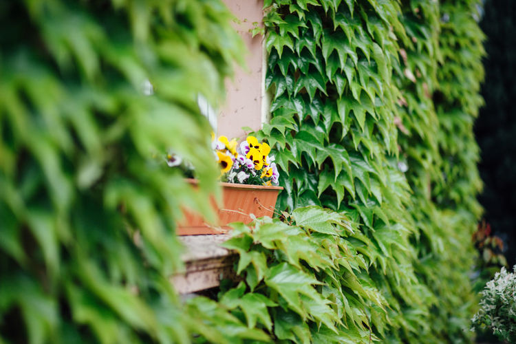 Pansies in window box amidst ivy growing on wall