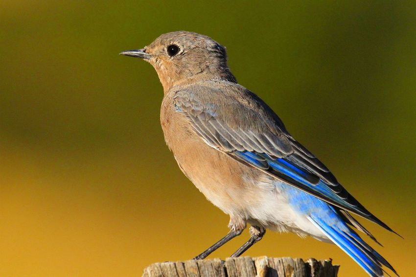 Early Morning Bluebird, Bird Perching Animal Wildlife Animals In The Wild One Animal Songbird  No People Nature Close-up Outdoors Animal Themes Day
