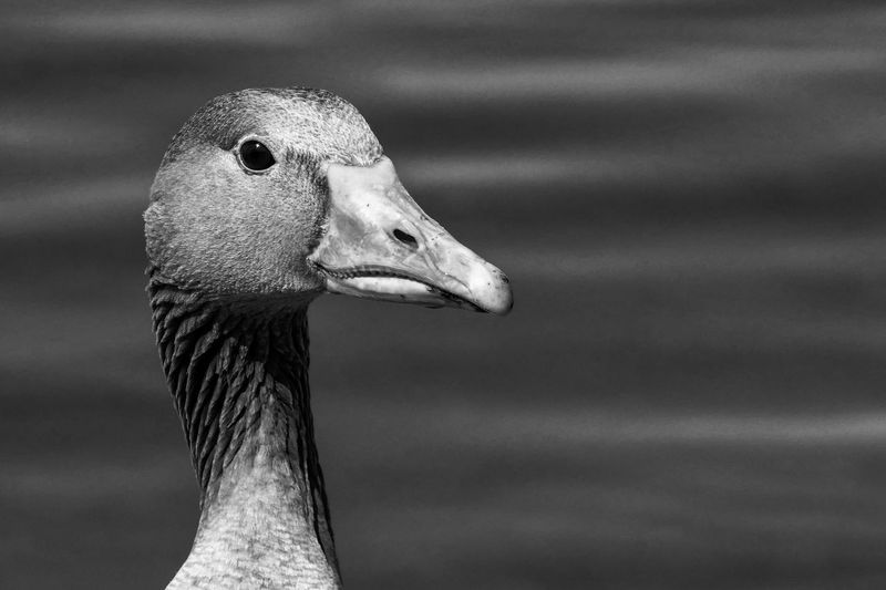 Black and white portrait of canada goose against water surface
