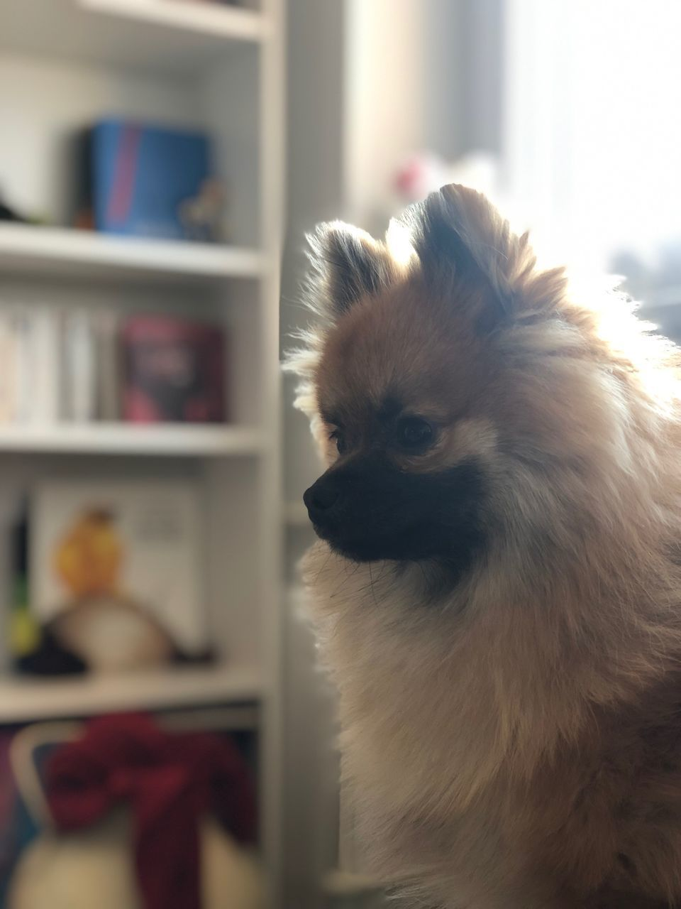 domestic, mammal, pets, domestic animals, animal themes, one animal, animal, canine, dog, vertebrate, indoors, no people, home interior, focus on foreground, pomeranian, lap dog, close-up, selective focus, animal hair, looking away, small, animal head, chihuahua - dog