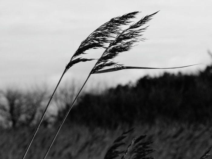 Schilfgras Schilfgras Föhr Insel Föhr Wind Grass Schwarzweiß Flying Sky