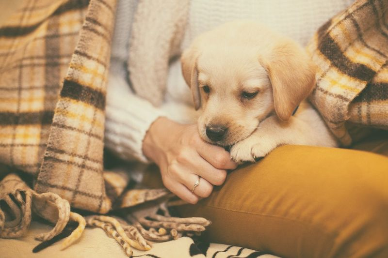 Midsection of woman holding labrador retriever puppy at home