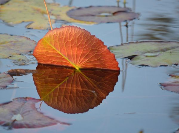 Lily Pad Full Circle Water Reflection Leaf Veins Water Lillies Dale Winbrow Park Sebastian, Fl